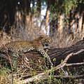 The Elusive Leopard by Sandra Bronstein