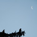 The Evergreen Twins And The Crescent Moon by Gothicrow Images