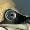 The Eye Of A Northern Gannet by Sami Sarkis