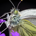 The Eye Of The Green-veined Butterfly. by Colin Allen
