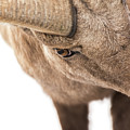 The Eye Of The Ram by Yeates Photography