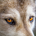 The Eyes Of A Great Grey Wolf by Teri Virbickis