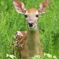 The Fawn by Angelcia Wright
