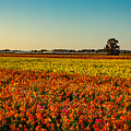 The Field Of Flowers by Mark Perelmuter
