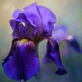 The First Iris by Jai Johnson