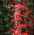 The First Maple Of Autumn by Michael Newberry