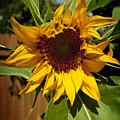 The First Sunflower by Tom Buchanan