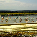 The Flamingoes by Patrick Kain