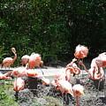 The Flamingos by Rob Hans