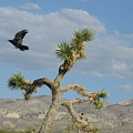 The Flight Of Raven. Lucerne Valley. by Ausra Huntington nee Paulauskaite