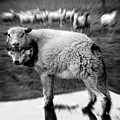 The Flock Is Safe Grayscale by Marian Voicu