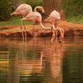 The Flock - The Serenity Of Flamingos At Water's Edge by Mitch Spence
