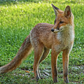 The Fox by Emil Vasev