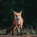 The Fox by Victor Aerden