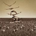 The Gathering - Sandhill Cranes by Nikolyn McDonald