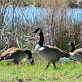 The Geese Are Back by Maria Urso
