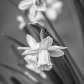 The Gentleness Of Spring Bw by Steve Harrington