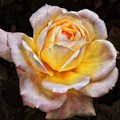 The Glowing Rose by Philip Openshaw