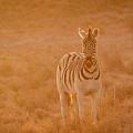 The Golden Zebra by Stephan Olivier