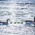 The Goose Family by Ananta Patel