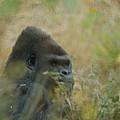 The Gorilla 5 by Ernie Echols