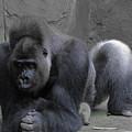 Western Lowland Gorilla by RLH Photography