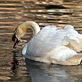 The Graceful Swan  by Lydia Holly