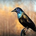 The Grackle by Karen Cook