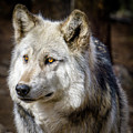 The Gray Wolf by Teri Virbickis