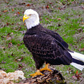 The Great Bald Eagle by David Lee Thompson