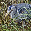 The Great Blue Heron by Greg and Linda Halom
