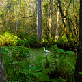 The Great Corkscrew Swamp by David Lee Thompson
