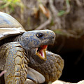 The Great Gopher Tortoise by David Lee Thompson