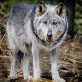 The Great Gray Wolf by Teri Virbickis