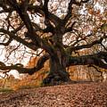 The Great Oak by Matteo Viviani
