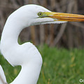 The Great White Egret by Donna Coupe