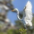 The Great White Egret by Paula Porterfield-Izzo