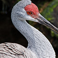 The Greater Sandhill Crane by Christopher Holmes