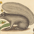 The Grey Fox Squirrel (sciurus Cinereus) by Mark Catesby