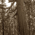 The Grizzly Giant Is A Giant Sequoia In Mariposa Grove Is In Yosemite Circa 1916 by California Views Archives Mr Pat Hathaway Archives