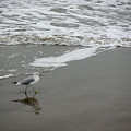 The Gulf In Shades Of Gray - Strutting by Lucyna A M Green