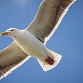 The Gull by Marni Moore