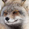 The Handsome Cross Fox Male by Yeates Photography