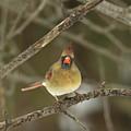 The Haridan - Northern Cardinal - Cardinalis Cardinalis  by Mother Nature