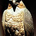 The Hawk by Paul Sachtleben