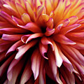 The Heart Of A Dahlia by Jessica Jenney