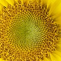 The Heart Of The Sunflower by Tiffany Erdman