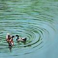 The Herd Series - Duck Meet by Usha Shantharam
