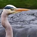 The Heron by Paul Hayes
