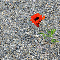 The Hopeful Poppy by Michael Bessler